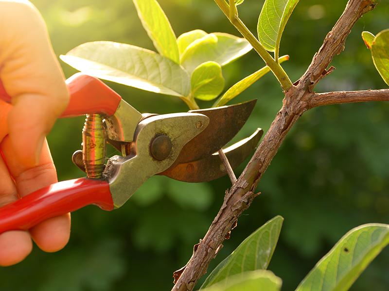 Maintaining your garden: pruning