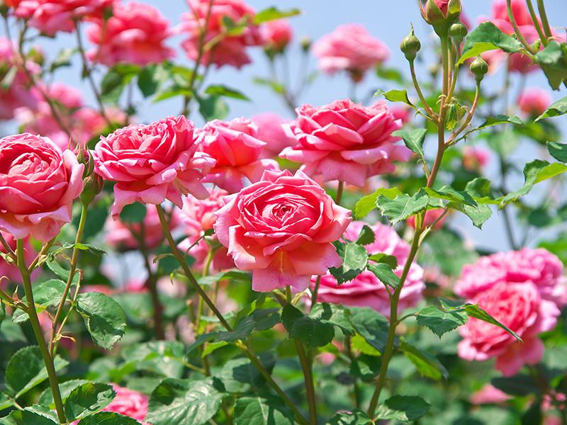 The Secret to Rose Gardening
