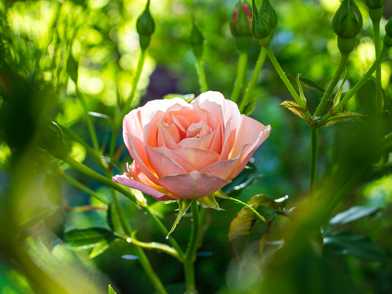 Create a rose garden in 7 simple steps