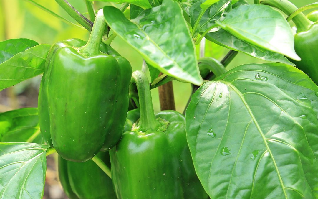 How to plant a vegetable garden: 3 veggies that sing in spring